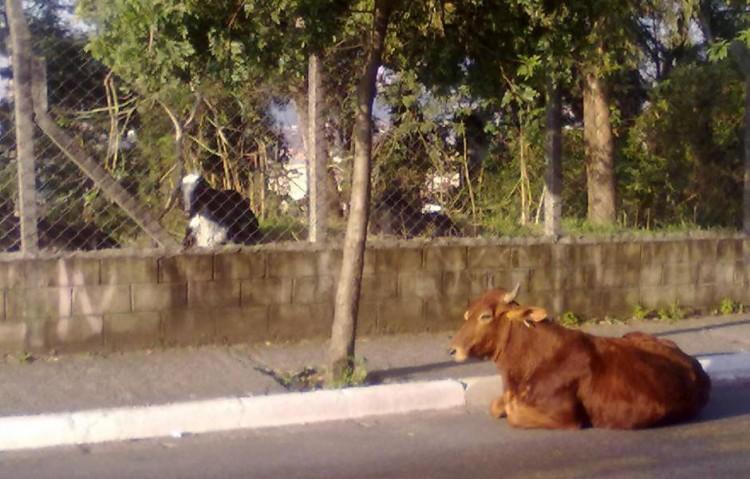 Vacas podem ser encontradas pelo bairro da Jova Rural; algumas são criadas em terrenos  (Aline Kátia Melo/Divulgação)